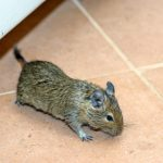 Unwanted Guests: What to Do When Rodents Get in Your Air Ducts