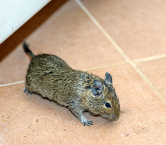 how to get rid of rodents in house